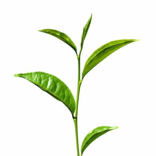 Každá kapsula obsahuje extrakt z 9000mg sušených listov Zeleného čaju